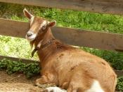 Goat Resting